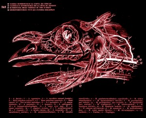 ghetie_avian_anatomical_atlas_capture011